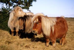 (D) Ponies near Belstone a